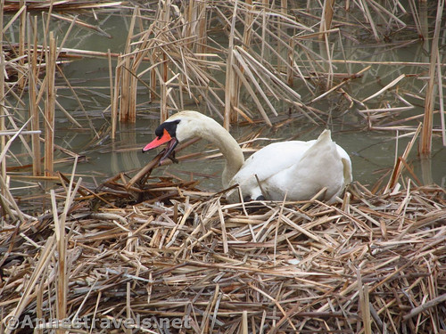 Open-mouthed swan building its nest near the boardwalk at Turning Point Park in Rochester, New York