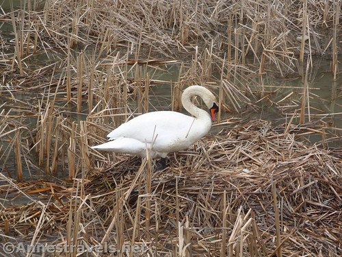 Swan building its nest at Turning Point Park in Rochester, New York