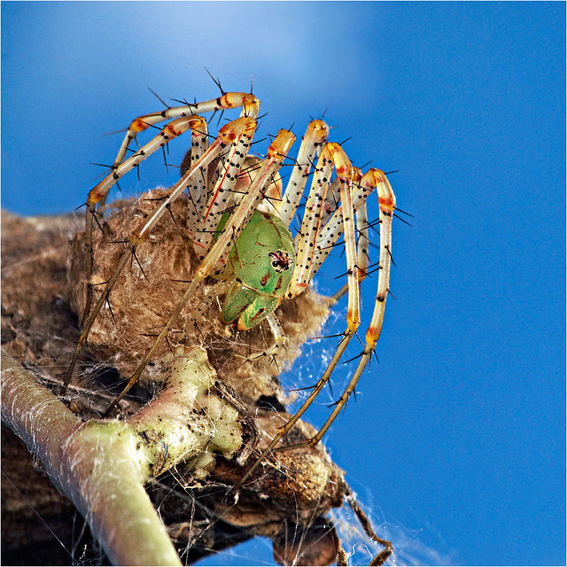 Green Lynx Spider guarding her eggs