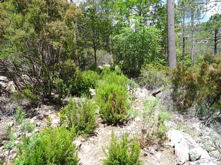 Chemin du Carciara après la traversée de la Figa Bona : le chemin remaquisé