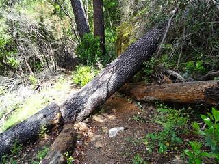 SChemin du Carciara après le ruisseau de Peru : le tronc à découper