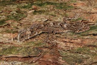 Moritz's Leaf-tailed Gecko (Saltuarius moritzi) | by Nick Gale