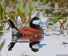 Ruddy Duck by Ceredig Roberts