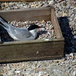 Tern nesting at Preston Docks