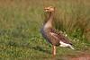 Greylag Goose, Anser anser by Kevin B Agar