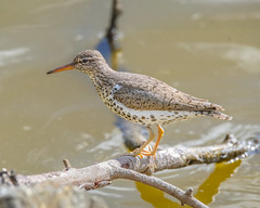 Spotted Sandpiper perched