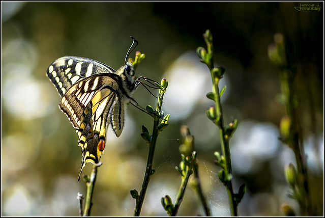 Papilio machaon_3205