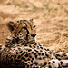 Slumbering Cheetah