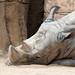 Garcilla rinocerontera / Rhinoceros egret
