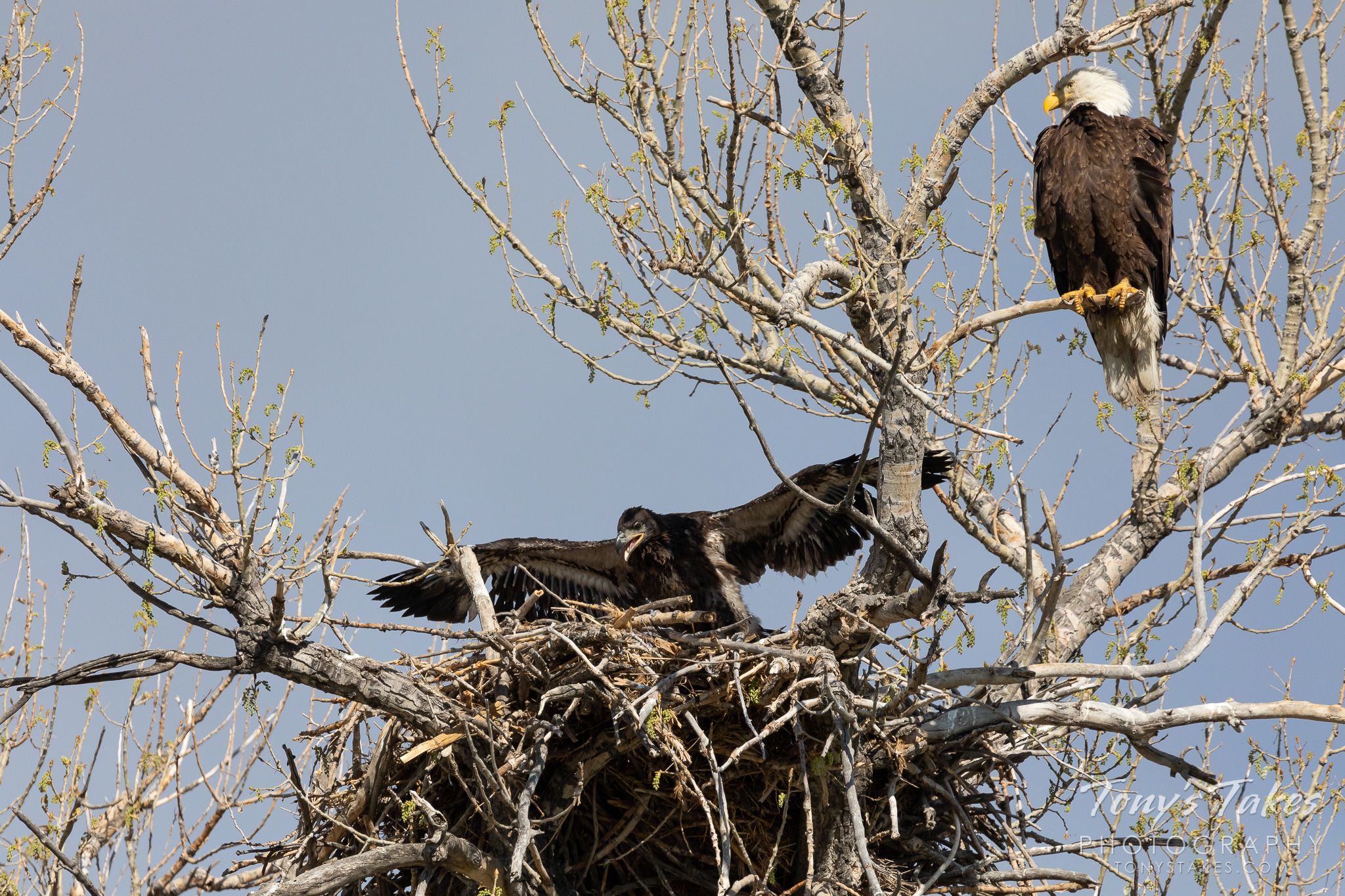 A juvenile bald eagle tests its wings under the watchful eye of its father. (© Tony's Takes)