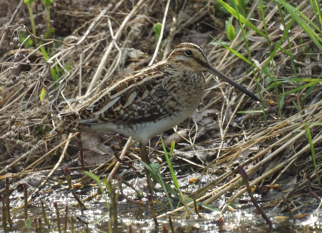 Common Snipe, Gallinago gallinago, Бекас