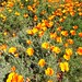 California golden poppy field