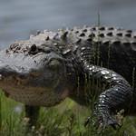 CB Gator