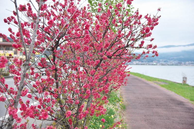 諏訪湖沿いの桃