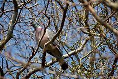 Common wood pigeon (Columba palumbus) // Paloma torcaz