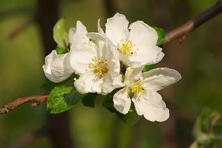 Цветущая яблоня / Blooming apple tree | by Владимир-61