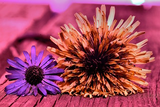UV daisy and dandelion