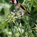European Goldfinch_0090_02