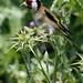 European Goldfinch_0090_02