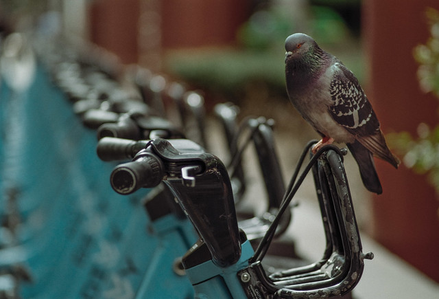 Downtown Pigeon