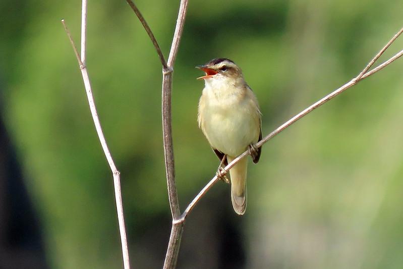Sedge Warbler - Acrocephalus schoenobaenus