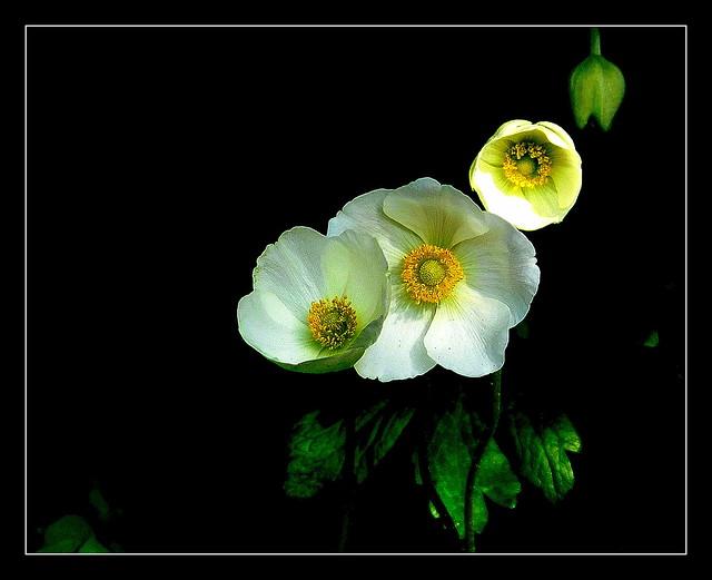 Anemony.