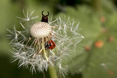 Dandelion fairy ladybird earwig