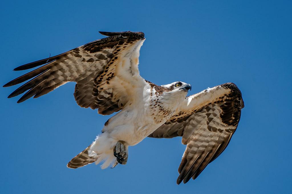 Osprey #131
