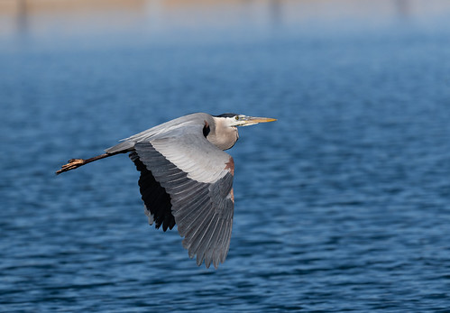 blue_heron_in_flight-20190501-103