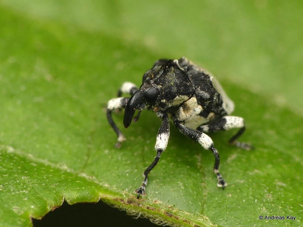 Weevil, Baridinae or Ceutorhynchinae? Curculionidae