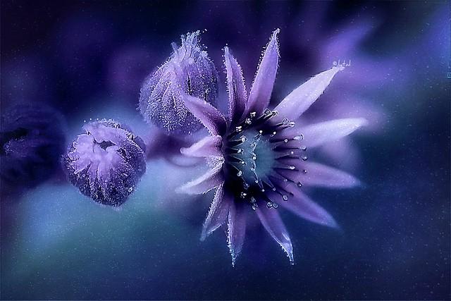 Purple Crown. A Slider:-)