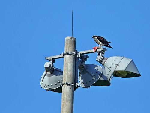 Osprey with fish 06-20190518
