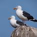 Western Gulls 4440