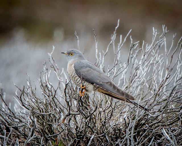 Cuckoo (my first)