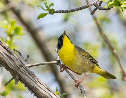 Common Yellow Throat | by kevinhaw335