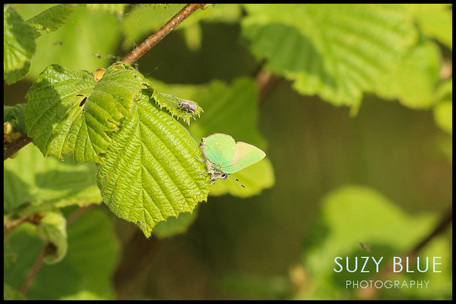 Green Hairstreak Butterfly & photobombing weevil