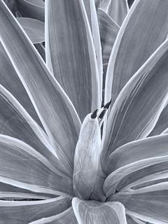 R0012346 New cactus shoots   by rjbrett2