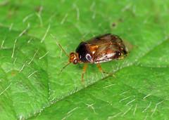 Deraeocoris lutescens