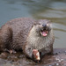 Eurasian Otter - Photo (c) Cloudtail the Snow Leopard, some rights reserved (CC BY-NC-ND)