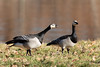 Go away - Barnacle geese (Branta leucopsis) Brandganzen by Ron Winkler nature