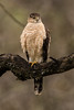 Cooper's Hawk (Accipiter cooperii) by Brown Acres Mark