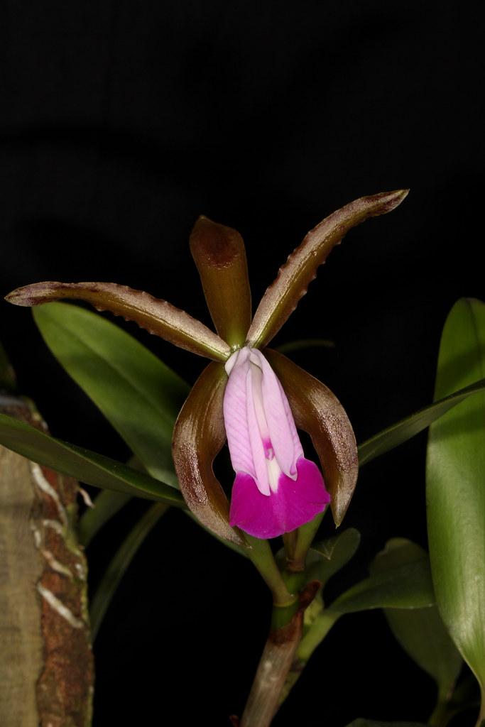 Cattleya dormaniana 2019-05-13 01