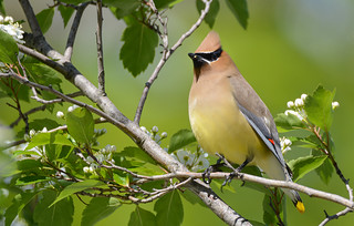 Cedar Waxwing | by JDA-Wildlife