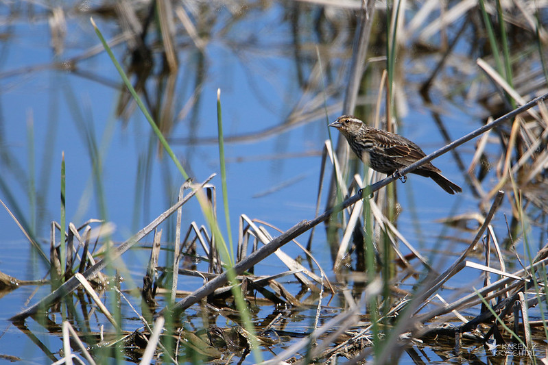 IMG_9357RedWingedBlackbird