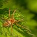 Nursery-web spider (Pisara mirabilis)