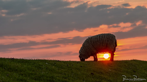 Sheep on the dike at Sunset