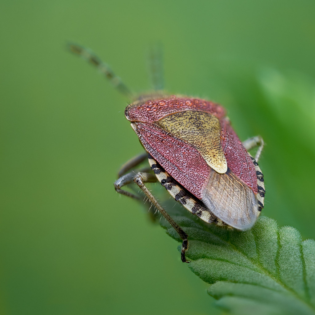 Beerenwanze  | Sloe bug (Dolycoris baccarum)