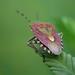 Beerenwanze  | Sloe bug (Dolycoris baccarum)