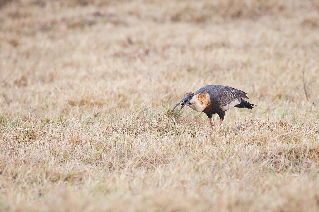 Ibis, Buff-necked