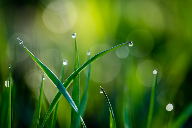 Morning Drops (i)